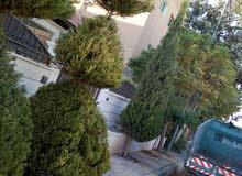 أبو عمر العنايه وتشكيل أشجار الزينه بكل حرفيه ومهارة
