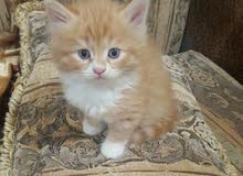 5 persian kittens for sale 5 اطفال شيىازي للبيع