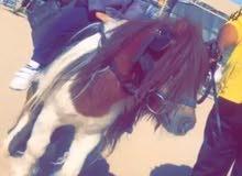 pony horse daily rental