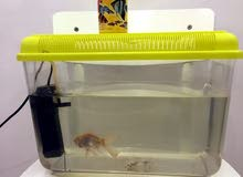 حوض سمك مع سمكه - gold fish