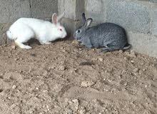 للبيع زوج أرانب هولندي النوع الضخم