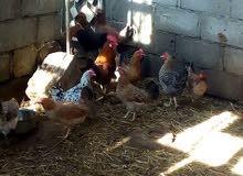 دجاج عماني منتج للببع