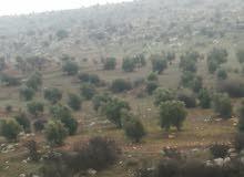 10دونمات مزروعة زيتون مثمر بالقرب من شارع الزرقاء جرش