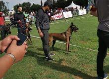 كلب المالينو الأصيل