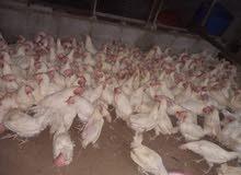 للبيع  دجاج  بياض ابيض بحاله جيده ولله الحمد