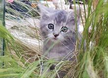 قطة صغيرة مكس سيبيري وبلدي للبيع العمر 3 اشهر متعوده عالدراي فوود واللتر بوكس