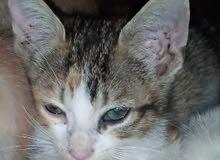 قطة صغيرة متعدد الالوان ثمن 300