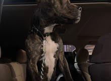 pit bull for sale كلب بيتبول للبيع