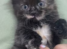 1 month and half kitten mix