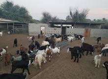 goats for sale all are pregnant