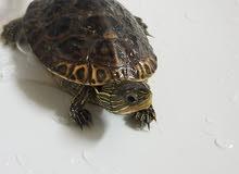 Sea turtle with food & cage سلحفاة البحر مع أكل و قفص