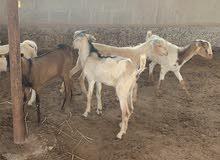تيوس عمانية / مزارع العبدلي