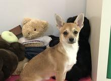 كلبه مفقوده في حديقة سلوى قطعه 11 رجاء لمن يجدها الاتصال