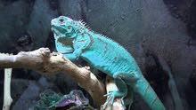 Axanthic Blue Iguana