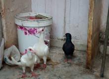 حمام بغدادي+ريحاني+عمري +نمساوي للبيع او البدل بسعر محروووووووق جدا صحة ونضافة