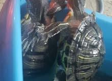 لهواة السلاحف البرمائيه 4 نتايه بيكلوا كل حاجه الواحده 18 سم للجادين فقط
