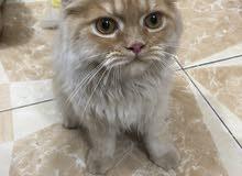 قط شيرازي عسلي للبيع