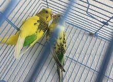 للبيع زوج طيور الحب