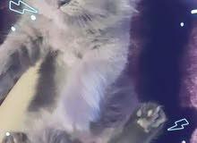 للبيع قطط شيرازيه لعيون تك وتك عمرهن شهرين ونص مكاني بغداد البياع  السعر 250 الف