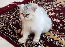 قطه للبيع ..  هملايا