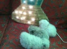 للبيع 3 قطط هيمالايا بيكي فيس متميزة