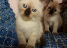 قطط سيامو