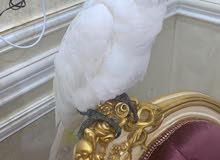 super jambo silver crest cockatoo