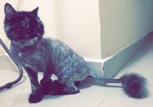persian female cat chocolate and black