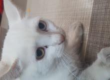 قطه شيرازيه عينين مختلفتين زرقا و بنيه ولون القطه بيضا عمرها 5 اشهر