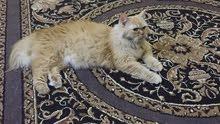 قطه شيرازيه أنثى بحاله ممتازه