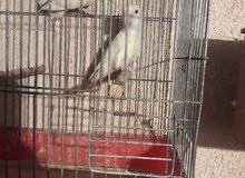 طيور بركديلو