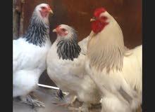 دجاجتين وديج للبيع