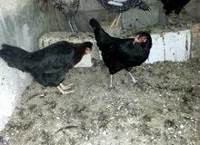 دجاج جاج بلدي للبيع