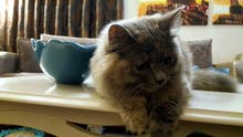 قطة أنثى شيرازي