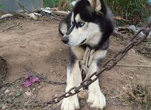 للبيع كلب هاسكي بيور عمر سنة ونص