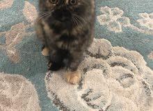 قطه شرازي شانشيلا اللوان نادره بسعر رامز لسرعه البيع