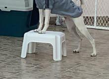 كلب كنعاني (أنثى) للبيع في جدة