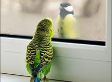 مطلوب طيور حب اليفة