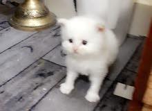 قطط هملايا اورنج وشكليت