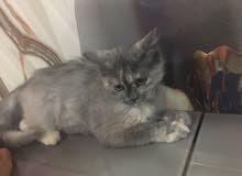 قطة انثى شيرازية عمرها 5 اشهر تقريبا
