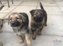 مطلوب جرمن شيبرد لا يزيد عمره عن شهر ونص Looking for a german shepard puppy