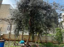 شجرة زيتون مثمرة للبيع
