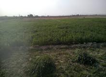 مزرعة 10  فدان مانجو و زيتون  ومحاصيل زراعيه