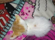 قطه لبيع من العيدابي