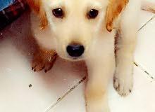 كلب جولدن بيور