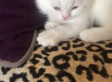 قطط سكوتش فولد بيورن ام بيضاء واب رمادي