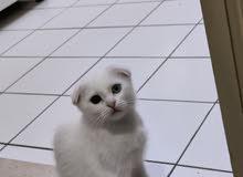 Scottish fold female kitten 2.5 month old