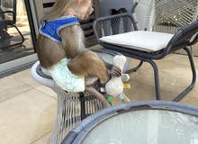 Baby Monkey 1 Year old