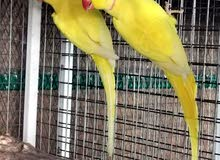 Yellow Ringneck breeding pair