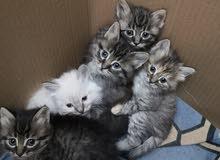 قطط شيرازي امريكي